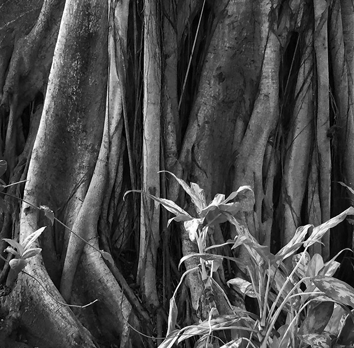 http://www.richardsprengeler.com/rubber-tree-roots-puerto-vallarta/