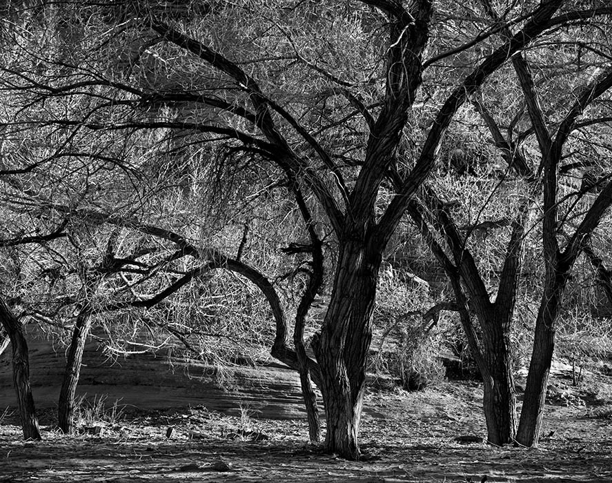 /product//cottonwood-trees-canyon-de-chelly-national-monument-arizona/