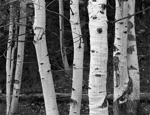 Aspens, Near Vail, Colorado, 2016